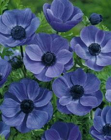 Анемоны неприхотливы, предпочитают расти на плодородной почве, на солнце...